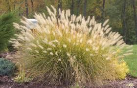 ornamental grasses information photos of ornamental grass