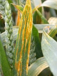 Types Of Plant Disease - huge u0027 diversity in types of yellow rust disease u0027heightens threat