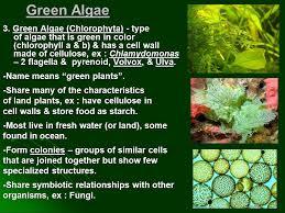 iv plant like protists multicellular algae ppt video online
