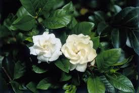 100 gardenia flower camellia azalea u0026 gardenia
