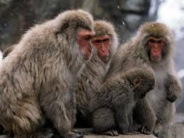 free monkey wallpaper 52dazhew gallery