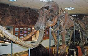 mammuthus primigenius woolly mammoth upper pleistocene u2026 flickr