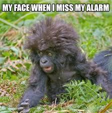 Funny Gorilla Meme - oh god i m late animal capshunz funny animals animal captions