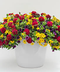 buy bedding plants now mixed summer flowers bakker com