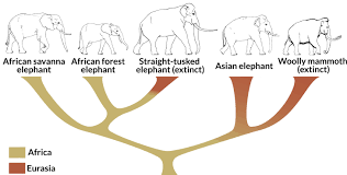 genetic analyses scientists rethink elephant family tree