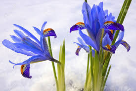blue winter flowers iris reticulata gordon in snowy garden stock