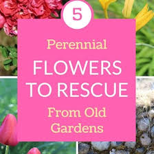 5 classic perennial flowers to rescue from old gardens diy