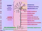 NISSL <b>NEUROFIBRILLAS</b> SOMA
