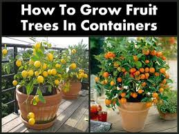 Planting Fruit Trees In Backyard Expert Advice On Growing Fruit Trees In Containers Fruit Trees