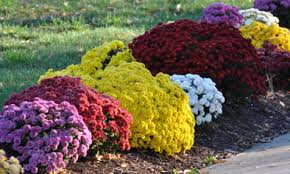 photos of chrysanthemums and hardy mums how do i plant mums in