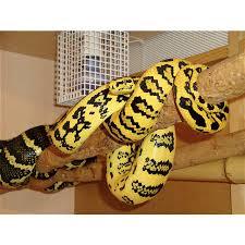 Hubbell Pfbrg3 by Jaguar Carpet Python Breeding Carpet Vidalondon