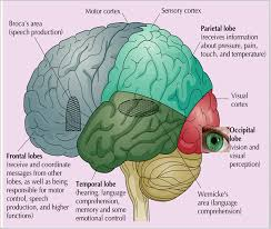 Anterior Association Area The Brain Psychological Study
