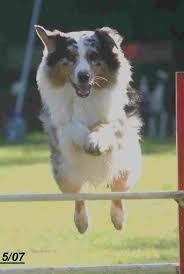 australian shepherd jumping australian shepherd dogs in south africa