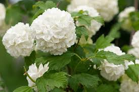 white hydrangea white hydrangea pictures images and stock photos istock