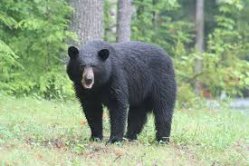 New Hampshire wild animals images Something wild black bears 101 with ben kilham new hampshire jpg