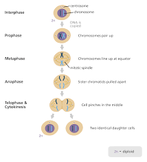 Mitosis And The Cell Cycle Worksheet What Is Mitosis Facts Yourgenome Org