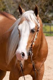 516 best horses goldens images on pinterest palomino horses