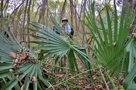 plants native to oklahoma dallas trinity trails the wild palm trees of dallas county