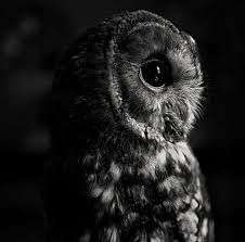 white owl 2 wallpapers black and white owl a parliament of owls pinterest owl bird