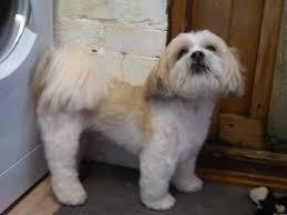 Dog Grooming Styles Haircuts Dog U0027e U0027dog Gallery