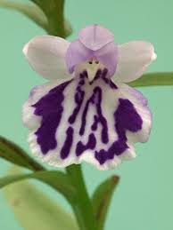 73 best orchids images on pinterest orchid flowers exotic
