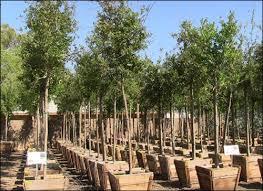 southern live oak trees