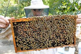 los angeles may join other cities allowing backyard beekeeping