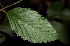 vascular plants of the gila wilderness vascular plants of the gila wilderness alnus oblongifolia