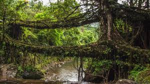 bbc travel india u0027s amazing living root bridges