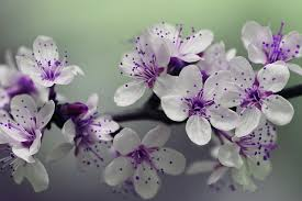 purple flowers beautiful purple flowers domain free photos for