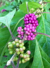 american beauties native plants berried treasures planting the best berried shrubs for your fall