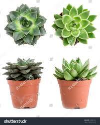 set pot plant echeveria different types stock photo 570901915