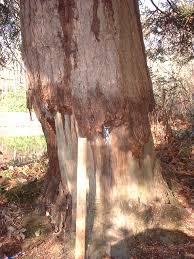 tree bandage