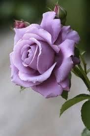 lavender roses 658 best a by any other name would images on
