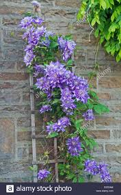 Trellis On Mass Of Spectacular Large Blue Mauve Double Flowers U0026 Emerald