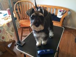 schnauzer hair cut step by step grooming your schnauzer part 1 back and sides youtube