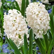 Hyacinth Flower Carnegie Hyacinth Bulbs Urban Farmer