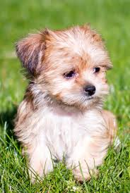 shorkie haircut photos shorkie the shih tzu yorkshire terrier mix the happy puppy site