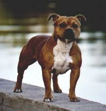 american pit bull terrier website vwvortex com confused about pit bulls