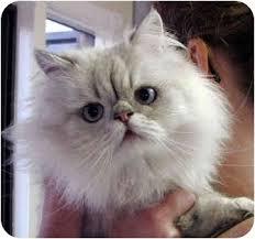ozzie a bichon frise davis ca himalayan meet ozzie a cat for adoption