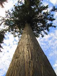 cedar tree gardeninminutes