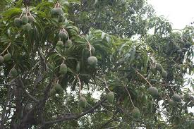 When Does A Lemon Tree Produce Fruit - mango tree care u2013 how do you grow a mango tree