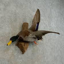 mallard duck drake bird mount for sale 16428 the taxidermy store