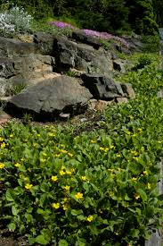 native plant salvage foundation 33 best shade drought tolerant plants images on pinterest