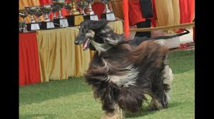 afghan hound westminster afghan hounds best in breed title dog show youtube