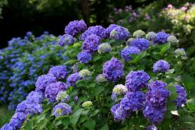 purple lilac how and when to prune lilacs