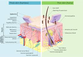 Nerve Map What Layer Of Skin Contains The Blood Vessels And Nerves Socratic