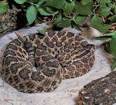 learn to recognize venomous snakes