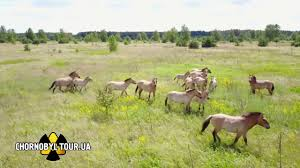 Chernobyl Fallout Map by Wild Horses In The Chernobyl Zone Youtube