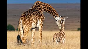 giraffe mom baby ngsversion 1411232334964 jpg